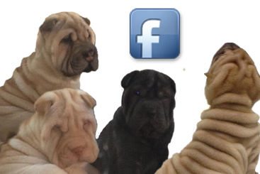 shar-pei facebook puppies